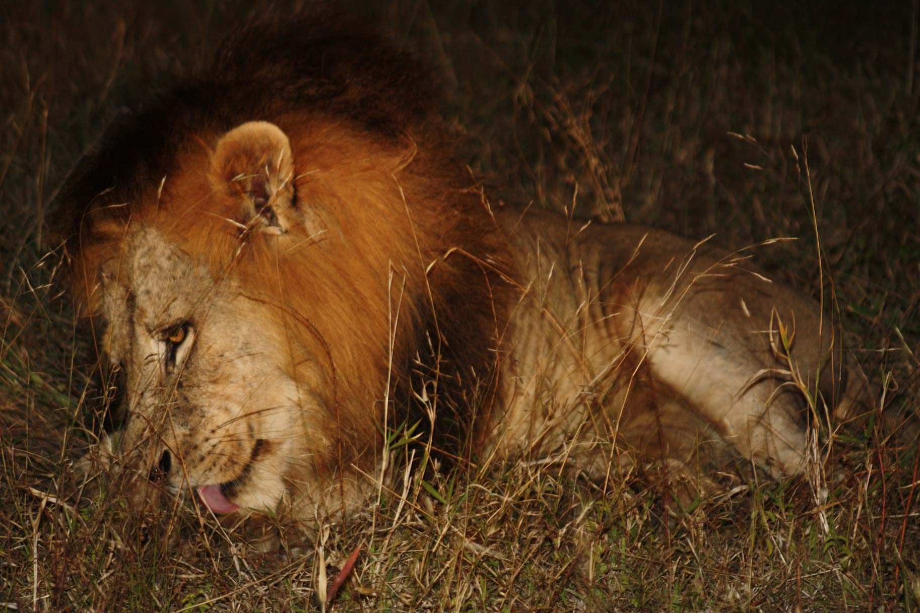 African Lions Suzanne Vlamis Photography