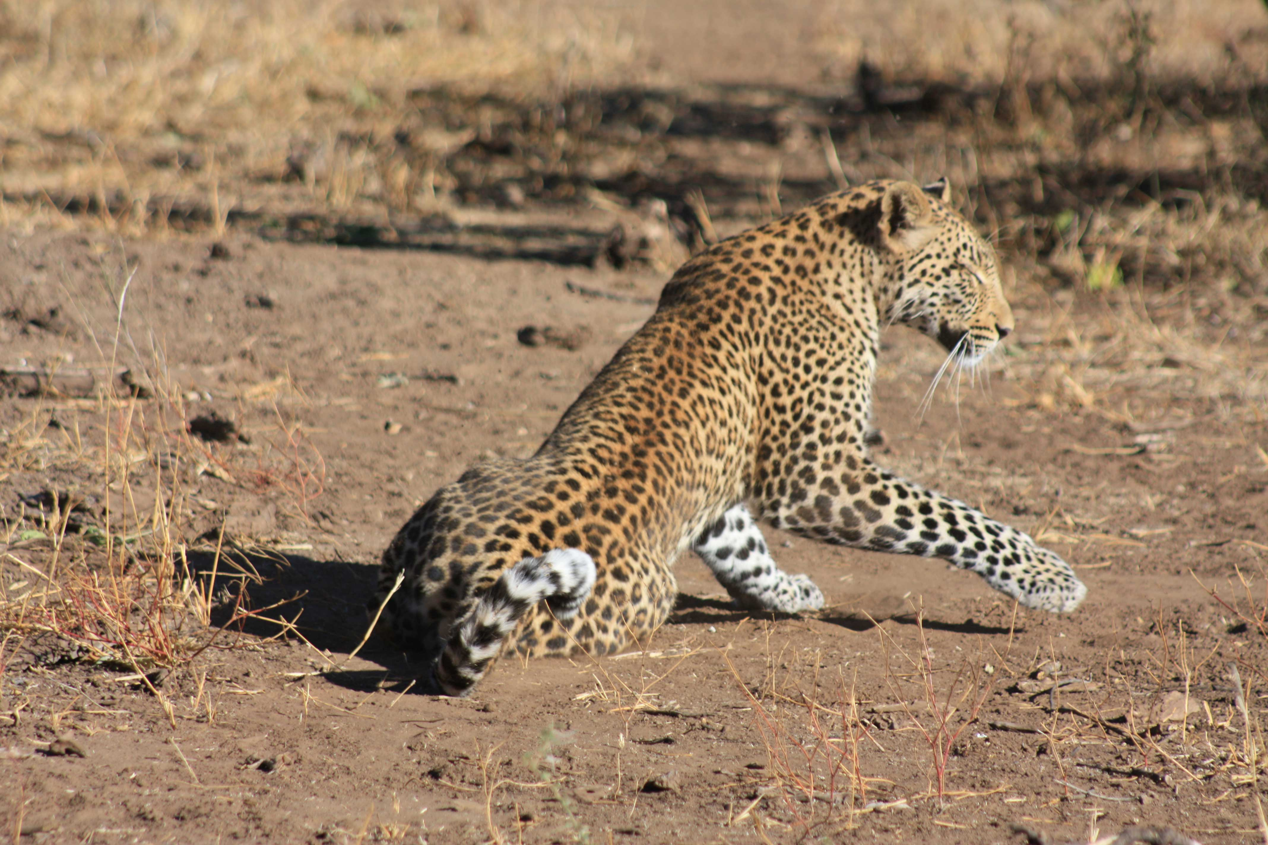 African Leopards Suzanne Vlamis Photography
