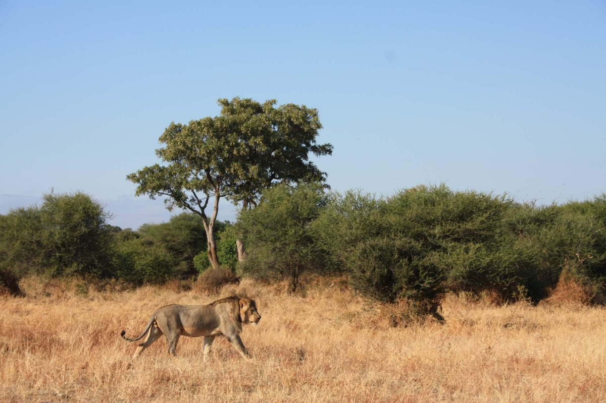 African Lions IMG_2753