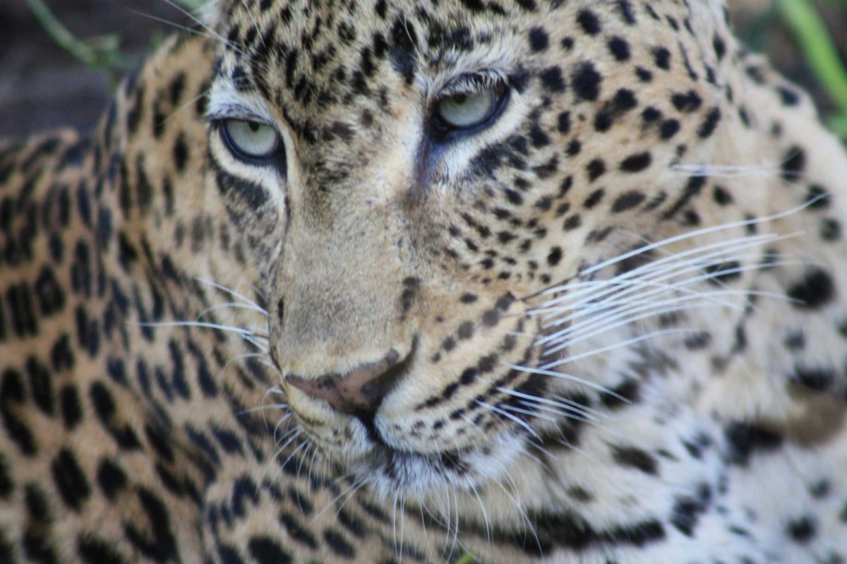 South Africa Leopards 461