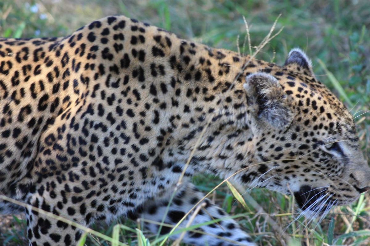 South Africa Leopards 472