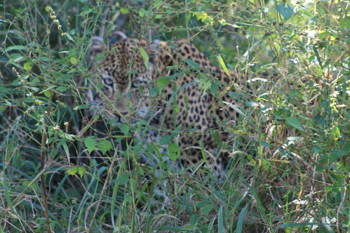 South Africa Leopards 481