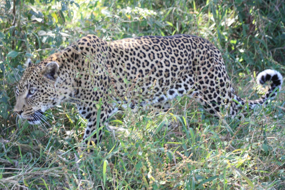 South Africa Leopards 489