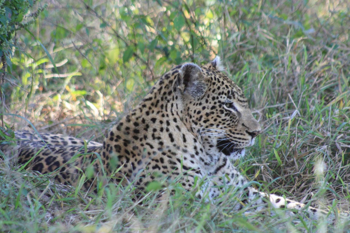 South Africa Leopards 529