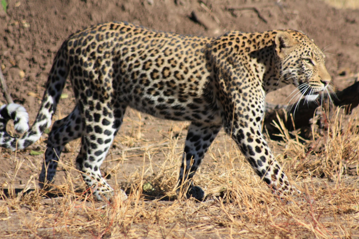 South Africa Leopards Disc3 131
