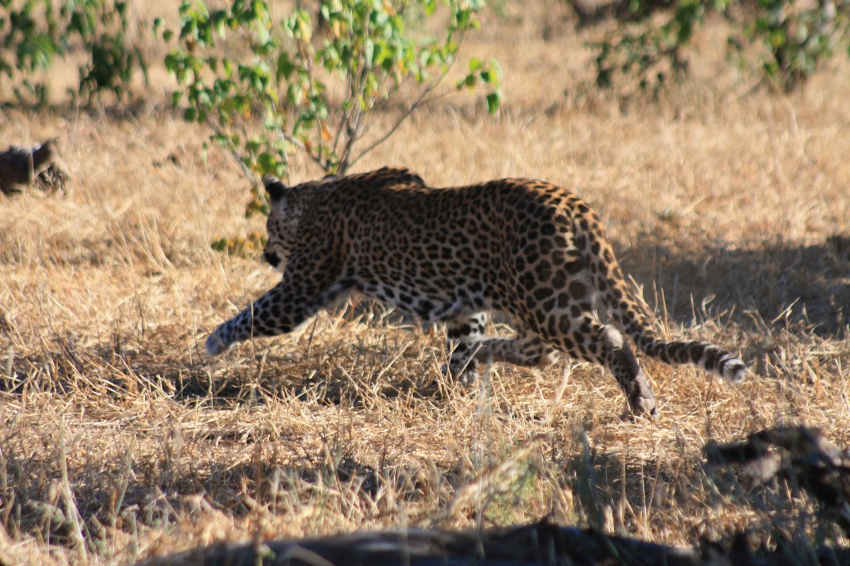 South Africa leopards Disc3 143