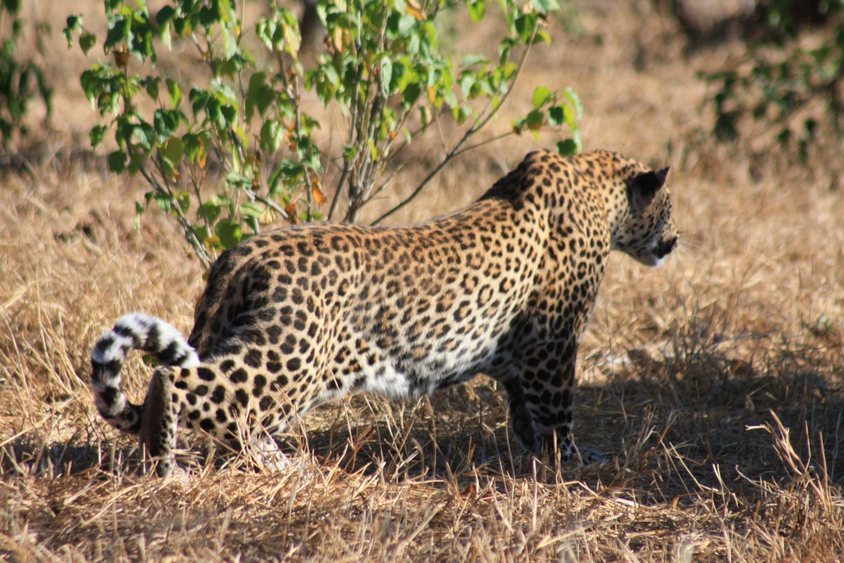 South Africa leopards Disc3 148