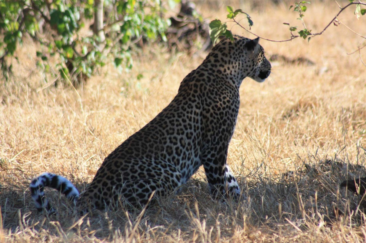 South Africa leopars Disc3 154
