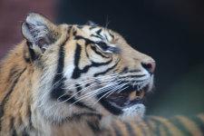 Sumatra Tigers