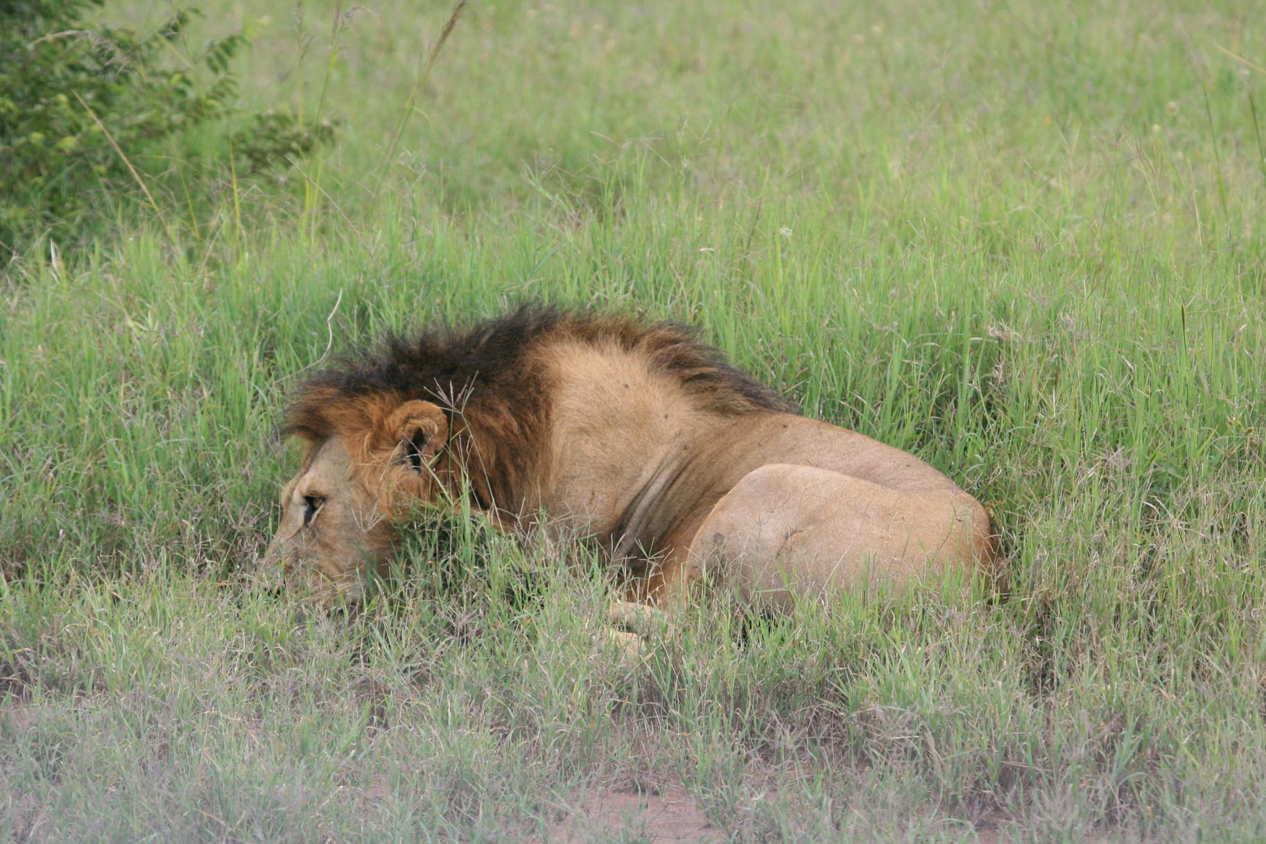 African Lions by Suzanne Vlamis